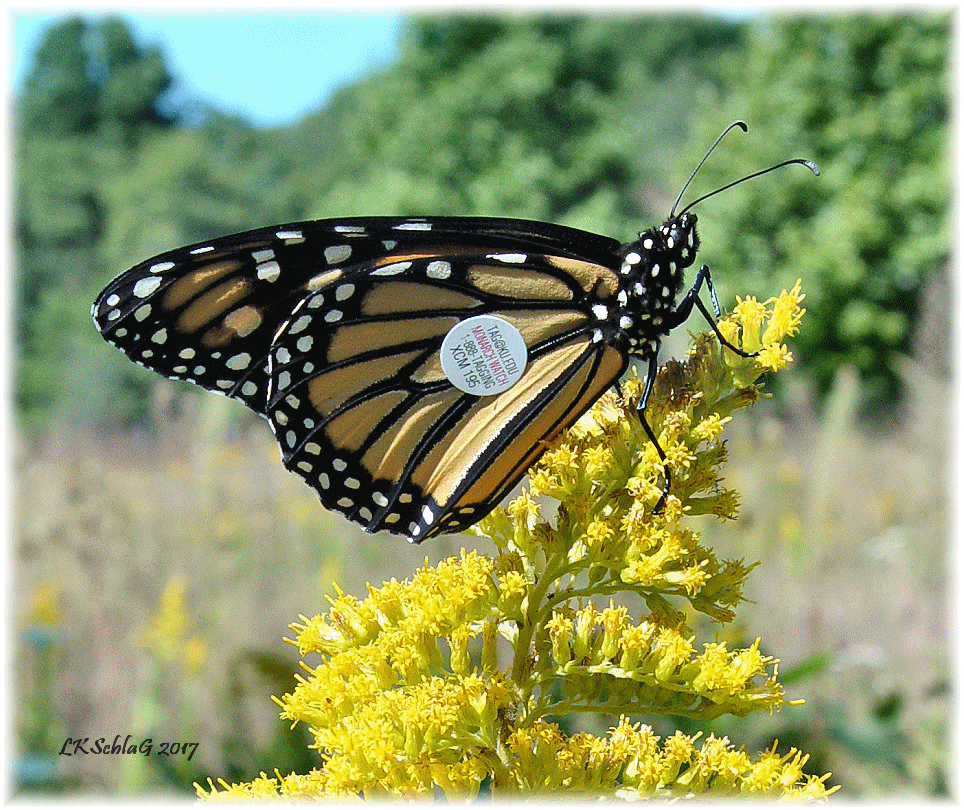 adult monarch with tag #195